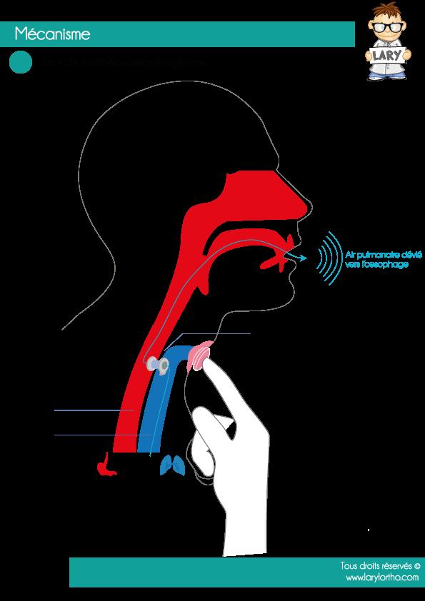 Mecanisme-Voix-Tracheo