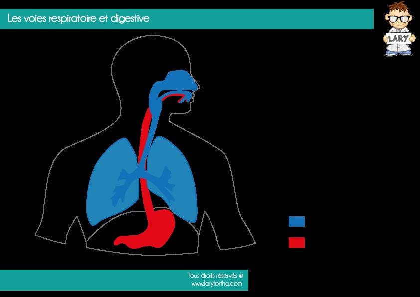 voies-respiratoire-et-digestive